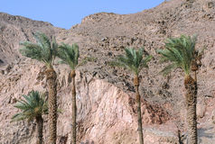 Palm Trees and Mountains in Eilat Royalty Free Stock Photo