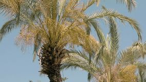 Palm trees are moving in the wind stock video footage