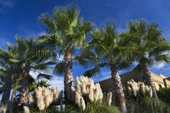 Palm trees in Napa Valley Royalty Free Stock Photo