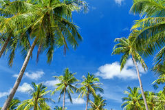 Palm trees natural background Royalty Free Stock Photo