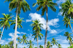Palm trees natural background Royalty Free Stock Images