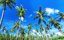 Palm trees natural background. Blue sky and tropical plants Stock Photography