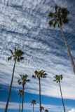 Palm trees in Newport Beach  Stock Photo