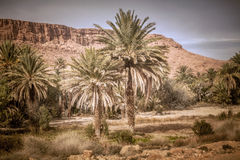 Palm trees in oasis. Grow in the mountain desert Royalty Free Stock Photography