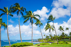 Palm trees by the ocean. Coconut Palm tree by the ocean in Hawaii, Kauai Stock Images