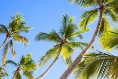 Free Palm Trees On Blue Sky Background, Palm Branches On Sky Background, Silhouettes Of Palm Trees, Crowns Palms Trees Royalty Free Stock Image - 141146866