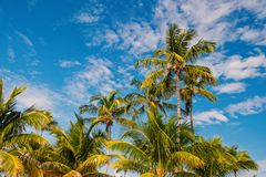 Free Palm Trees On Sunny Blue Sky In Great Stirrup Cay, Bahamas. Coconut Palm Trees With Green Leaves In Tropical Garden Royalty Free Stock Photo - 135085895