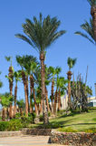Palm trees on one sunny day in Egypt. Palm trees in the park with green grass, on one sunny day in Egypt stock image