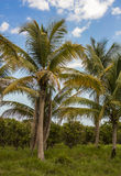 Palm Trees in Orange Orchard Royalty Free Stock Photo