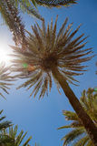 Palm trees over blue sky Royalty Free Stock Image