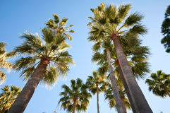 Palm trees over bright blue sky Royalty Free Stock Images