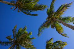 Palm trees over a clear blue sky. View from below of palm trees over a clear blue sky. Taken at Dominican Republic Stock Photos