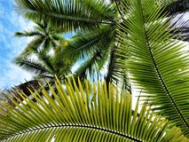 PALM TREES OVER MY HEAD. WHILE I LISTEN THE PACIFIC OCEAN Royalty Free Stock Photo