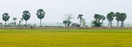Palm trees on paddy rice field in southern Vietnam Stock Image