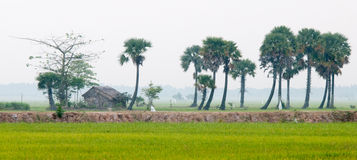 Palm trees on paddy rice field in southern Vietnam Stock Images
