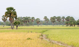 Palm trees on paddy rice field in southern Vietnam Royalty Free Stock Photos