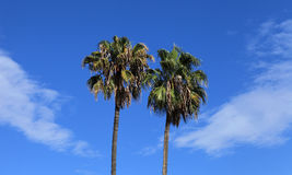 Palm trees in Palermo Stock Image