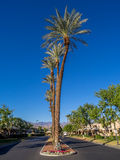 Palm trees, Palm Desert golf resort Royalty Free Stock Photos