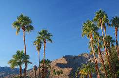 Palm trees in Palm Springs. California royalty free stock images