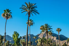 Palm Trees of Palm Springs. A Palm Springs landscape with Palm trees and the San Jacinto Mountain range Stock Images