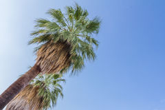 Palm trees in Palm Springs US Royalty Free Stock Image