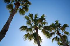 Palm Trees. Basks in the afternoon Florida sun beneath a clear blue sky royalty free stock image