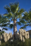Palm Trees Pampas Grass Napa California Royalty Free Stock Photography