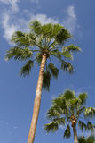 Palm trees in paradise. Palm trees with blue sky and clouds in the background Stock Photography