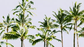 Palm Trees in Paradise. A group of palm trees sway in the wind stock video