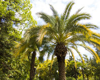 Palm trees in park. Palm trees grow in park on a bright sun of the South Stock Photo