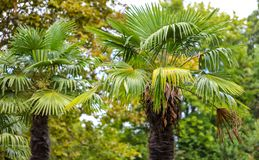 Palm trees in the park. Subtropical climate.  royalty free stock photography