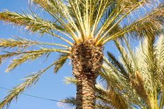 Palm Trees - Perfect palm trees against a beautiful blue sky.  Stock Photo