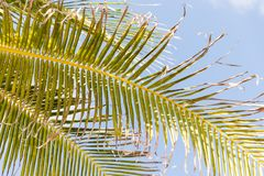 Palm Trees - Perfect palm trees against a beautiful blue sky.  Royalty Free Stock Photo