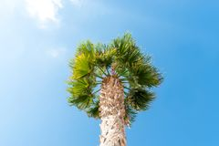 Perfect palm trees against a beautiful blue sky. Palm Trees - Perfect palm trees against a beautiful blue sky Royalty Free Stock Image