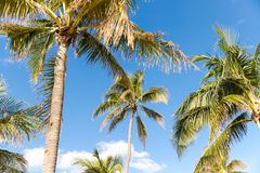 Palm Trees - Perfect palm trees against a beautiful blue sky.  Royalty Free Stock Photography