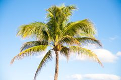 Palm Trees - Perfect palm trees against a beautiful blue sky.  Royalty Free Stock Image