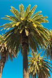 Palm Trees - Perfect palm trees against a beautiful blue sky. Background Stock Images