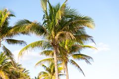 Palm Trees - Perfect palm trees against a beautiful blue sky.  Royalty Free Stock Images