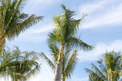 Palm Trees - Perfect palm trees against a beautiful blue sky.  Royalty Free Stock Photos
