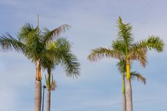 Palm Trees - Perfect palm trees against a beautiful blue sky.  Stock Images