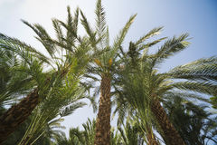 Palm trees perspective view Royalty Free Stock Photography
