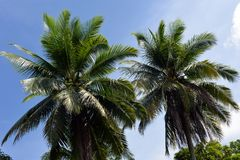 Two palm tree tops Royalty Free Stock Photos