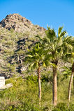 Arizona Palm Trees Royalty Free Stock Images