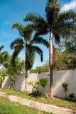 Palm trees planted along the white wall. In Thailand Asia a lot of greenery, leaves and sky stock images