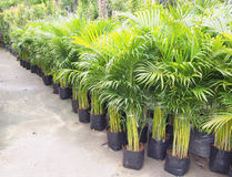 Palm trees planted in pots Stock Photo