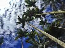 Palm trees point of view. Pov upwards trunk Stock Images