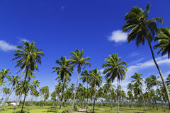 Palm trees in Porto de Galinhas, Recife, Pernambuco - Brazil Stock Photo
