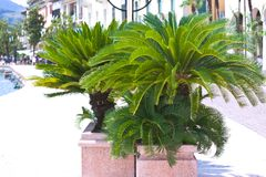 Palm trees in pot on town embankment Royalty Free Stock Photography
