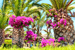 Palm trees with purple Bougainvillea flowers in front of  beach Royalty Free Stock Image