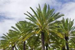 Palm trees in pyramid shape Royalty Free Stock Images
